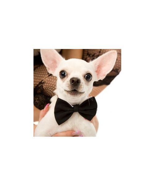 Bow tie for dog breed chihuahua, bichon, yorkshire terrier, bull terrier, pinsher, westie, pug, papillon, dachshund, cocker