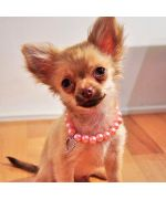 Pépito, a small chihuahua wearing wonderfully her collar of pink pearl, delivery to Paris, Lyon, Nancy, Grenoble, Marseille...