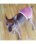 Rocky adorable petit chien avec son bandeau anti-pipi Sailor rouge