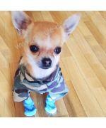 superbe chihuahua portant sa petite chemise camouflage et ses petites chaussettes pour chien