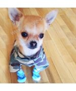 superb chihuahua wearing his little camouflage shirt and his little dog socks