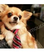 super small chihuahua is very proud to show you his nice tie