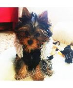 Laly small yorkshire terrier adorable with his coat flake black