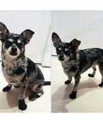 ermes adorable petit chien avec ses petites chaussettes smoking tres classes