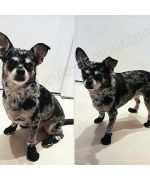 ermes adorable little dog with its little socks tuxedo tres classes