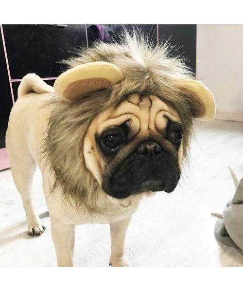 chien carlin avec bonnet lion Livraison suisse, norvège, suède, danemark, belgique, france, pologne, hongrie