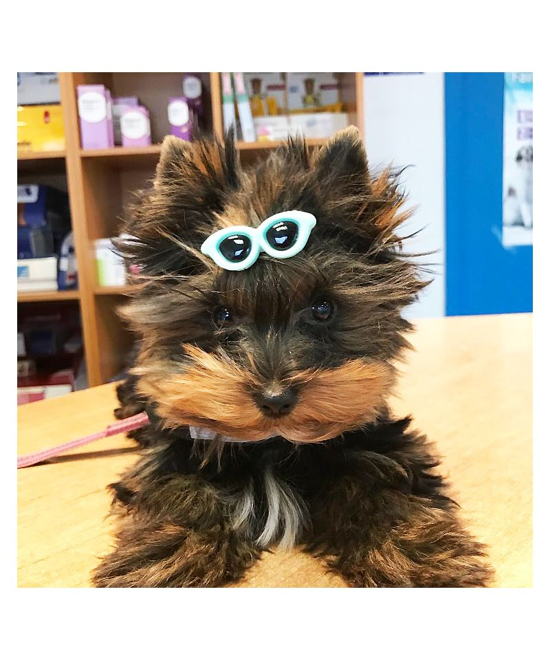 d19241776a0f37 pince pour chien originale petits animaux de compagnie accessoires cheveux  chiens guadeloupe martinique ile de la. Barrette lunette de soleil ...