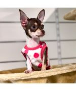 Lilou little chihuahua with his small fleece sweater size XS