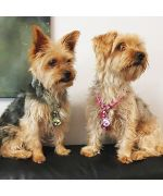 medaille pour yorkshire terrier