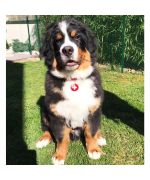 medal-for-dog-cat-flag-switzerland-delivery-free-shop-gueule-damour
