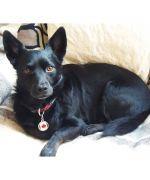 medaille pour chien noir