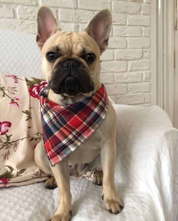 foulard pour bouledogue