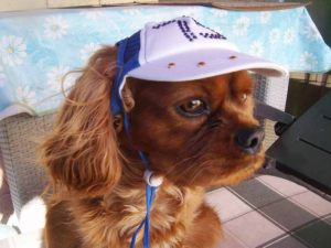 Cavalier King Charles - Casquette pour chien strass bleue - Taille XL