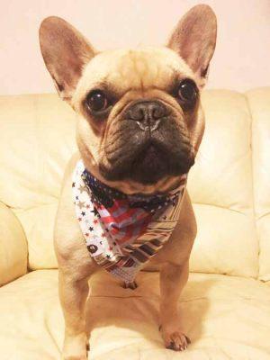 Bouledogue Français - Bandana pour chien