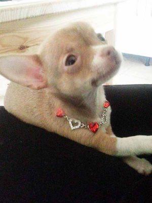 Chihuahua - Collier pour chien en strass coeurs - Tour de cou 20 à 25 cm