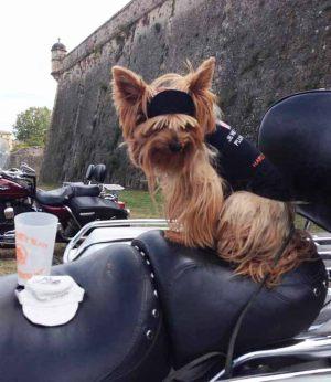 Yorkshire Terrier - T shirt pour chien noir - Taille M