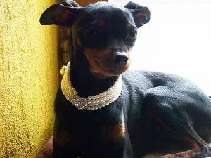 Pinsher - Collier pour chien de perles quatre rangées blanc - Tour de cou 20 à 25 cm
