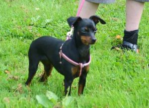 Pinsher - Harnais pour chien marron Basic