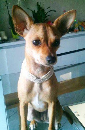 Chihuahua - Collier pour chien de perles quatre rangées blanc - Tour de cou 20 à 25 cm