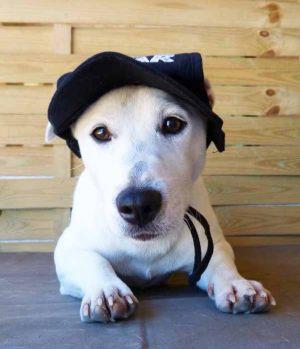 Jack Russel - Casquette pour chien Gueule d'amour Star noire - Taille L