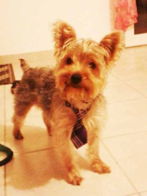 Yorkshire Terrier - Cravate pour chien écossaise violette
