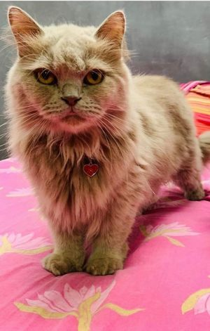 Pendentif pour chien et chat coeur - Chat British - Miou