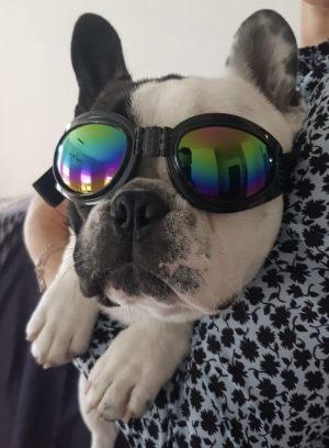 Lunettes de soleils pour chiens - Bouledogue Français