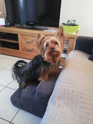 Le beau Marty, petit Yorkshire vous présente son escalier pour chien