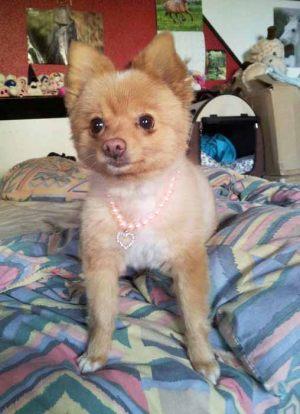 Petit Spitz - Collier pour chien de perles rose - Tour de cou 20 à 25 cm