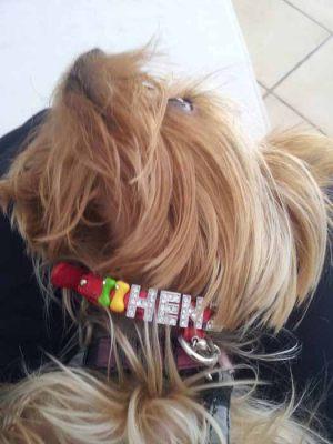 Noisette - Yorkshire Terrier - Collier pour chien personnalisable rouge - Tour de cou 21 à 28 cm