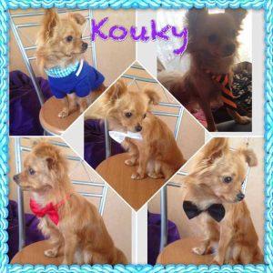Kouki - Chihuahua à poils longs - Taille M