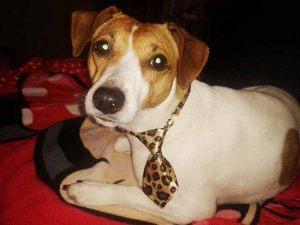 Jack Russel - Cravate pour chien léopard