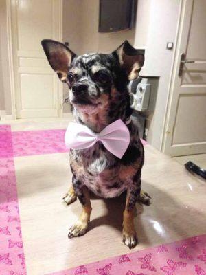 Ermès - Chihuahua - Noeud papillon pour chien blanc