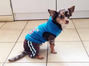 Chihuahua - Jogging pour chien - Taille M