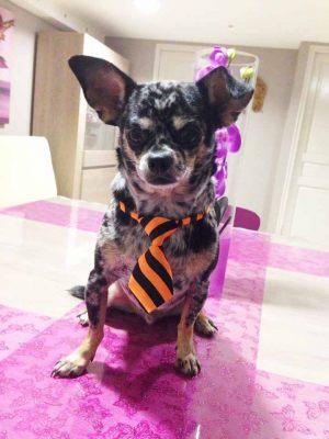 Chihuahua - Cravate pour chien rayée orange et noire