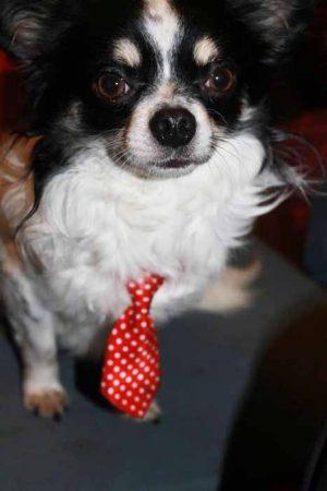 Chihuahua poils longs - cravate pour chien rayée rouge et blanche