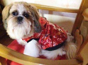 Shitzu - Manteau pour chien asiatique rouge - Taille XL
