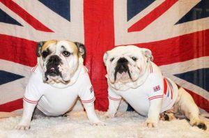Bulldogs Anglais - T-shirt pour chien Union Jack - Taille 4XL