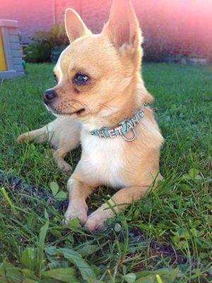 Chihuahua - Collier pour chien personnalisable - Tour de cou 21 à 28 cm